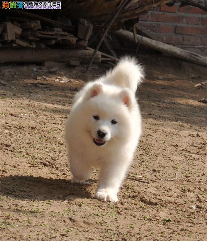 专业繁殖高品质萨摩耶幼犬 南京的朋友可以来狗场看狗图片