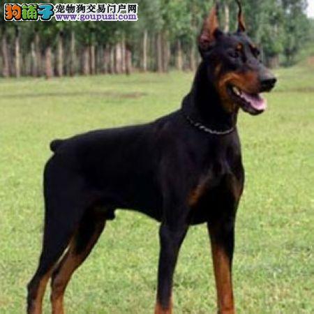 杭州热销纯种杜宾犬幼犬 骨量足签协议保健康 终身质保