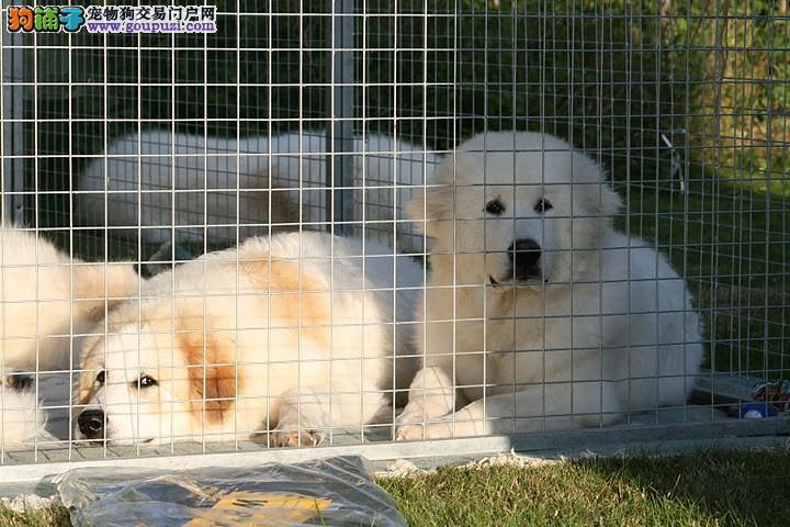 白色圣斗士大白熊幼崽待售中