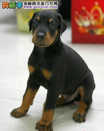 哪里有纯种杜宾犬出售 杜宾哪里有出售的图片