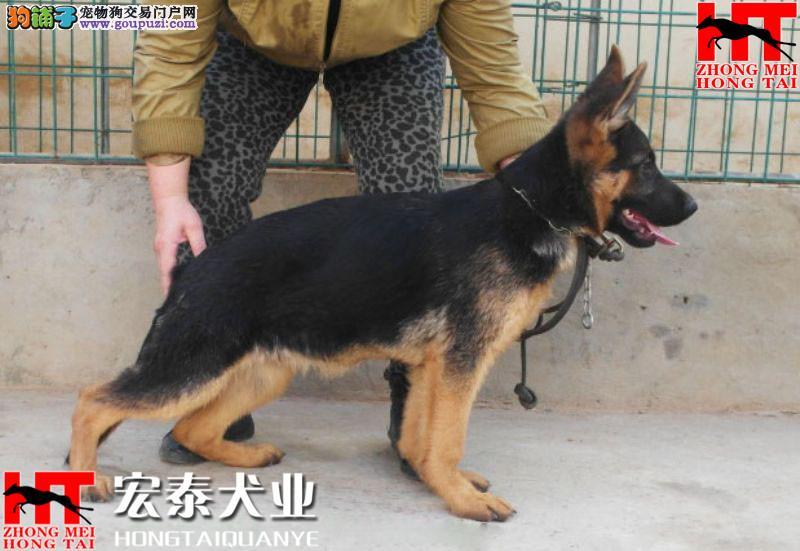 宏泰犬业直销 2/4月龄德牧幼犬 疫苗已齐