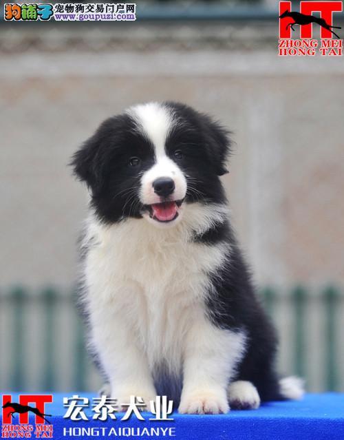 出售边境牧羊犬 有血统七白到位 品质极佳 保三年
