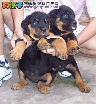 北京售罗威纳犬疫苗驱虫均已做签协议大型犬罗威纳