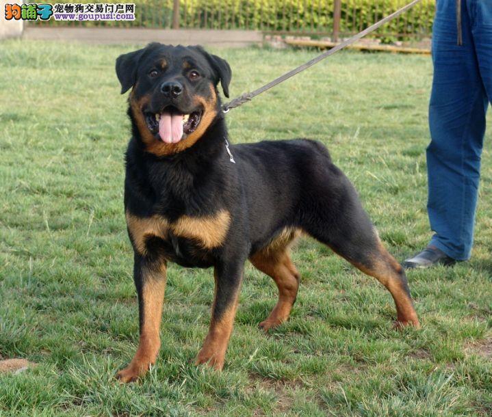 武汉售自己繁殖罗威那犬 赛级罗威纳免费送狗狗上门