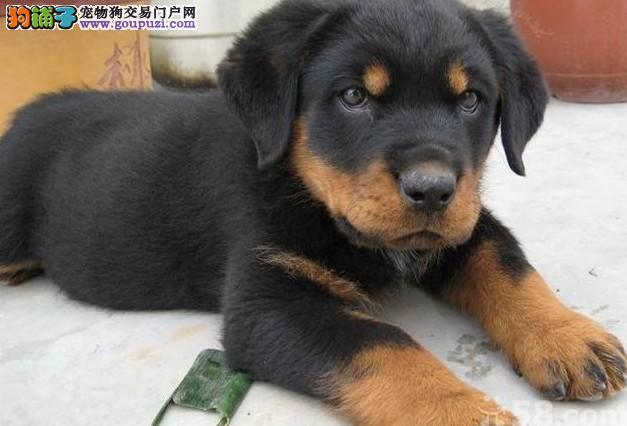 纯种罗威纳犬出售 公母都有 协议质保 可上门挑选