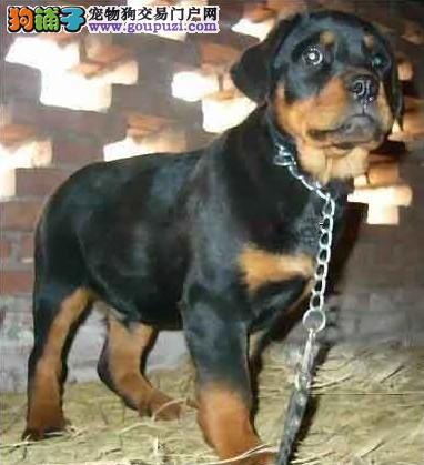 精品罗威纳出售 专业犬舍繁殖 品相好 上门挑选签协议