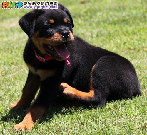 出售纯种极品罗威纳幼犬狗狗 父母有血统包健康品质