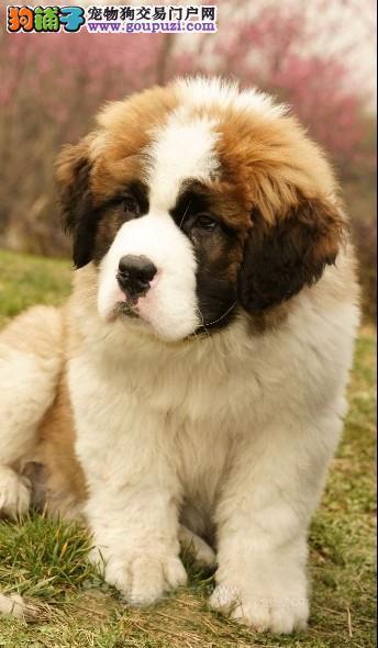 超漂亮的圣伯纳幼犬出售 100%纯种好品相 火热销售