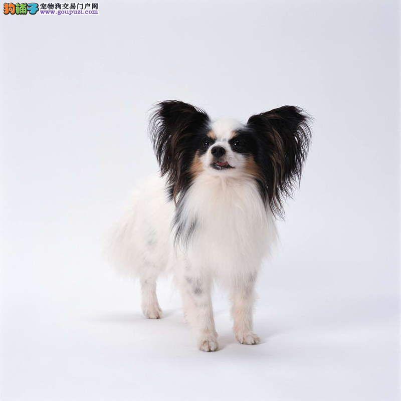 宁波出售顶级赛品蝴蝶犬 高贵血统高性价比 签合同质保