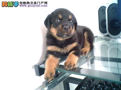 武汉宽嘴罗威纳 英勇忠诚护卫犬 可训性和服从性极强