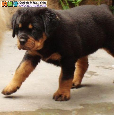 看家护院好手的罗威纳幼犬,大头,健康,支持上门