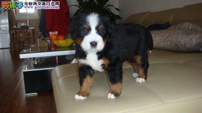 南京精品高品质伯恩山幼犬热卖中品相一流疫苗齐全