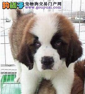 圣伯纳--雪地中的工作犬 纯种圣伯纳幼犬