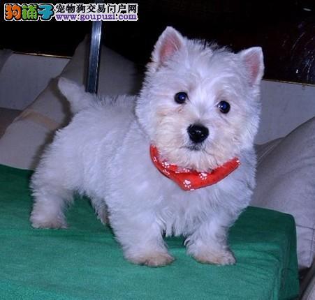青岛双赛级血统活体宠物狗家养西高地白梗犬幼犬出售