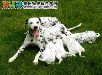 纯种健康的大麦町斑点幼犬出售了公母都有