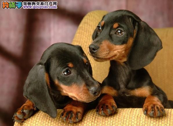 家有可爱腊肠狗狗出售(有喜欢的尽快和我联系哦)