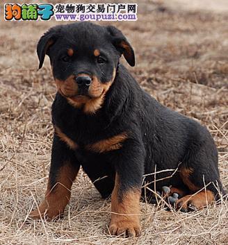 福州出售高端别墅防暴护卫犬罗威纳犬尊贵血统支持送狗
