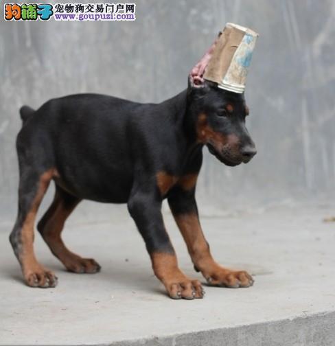 极品纯种杜宾犬幼犬常年出售