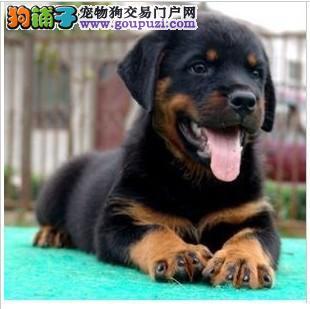 专业德系罗威养殖场出售纯大头颅大骨架大爪子罗威幼犬图片