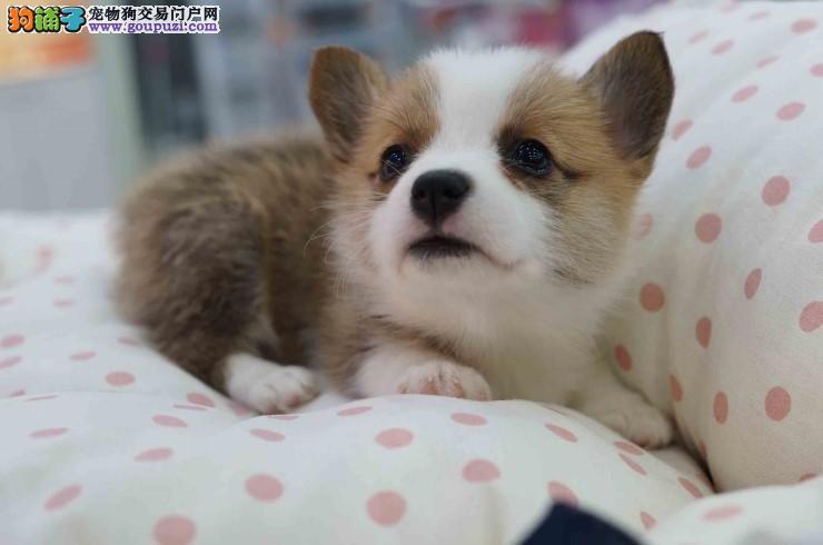济南售卖柯基犬价格公道 超级憨萌的威尔士柯基犬幼犬