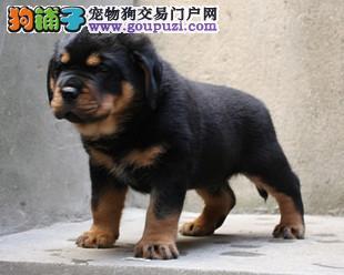 北京售精品纯种罗威纳犬洛威拿幼犬图片