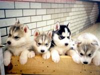 北京售哈士奇犬 疫苗驱虫齐价格优惠哈士奇促销热卖中