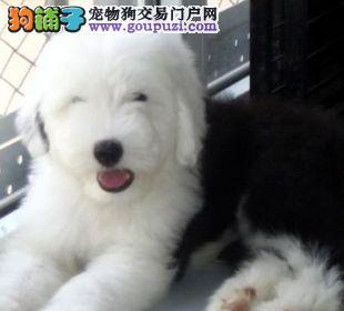 杭州出售纯种古牧幼犬 白头齐肩通背四蹄踏雪纯种健康