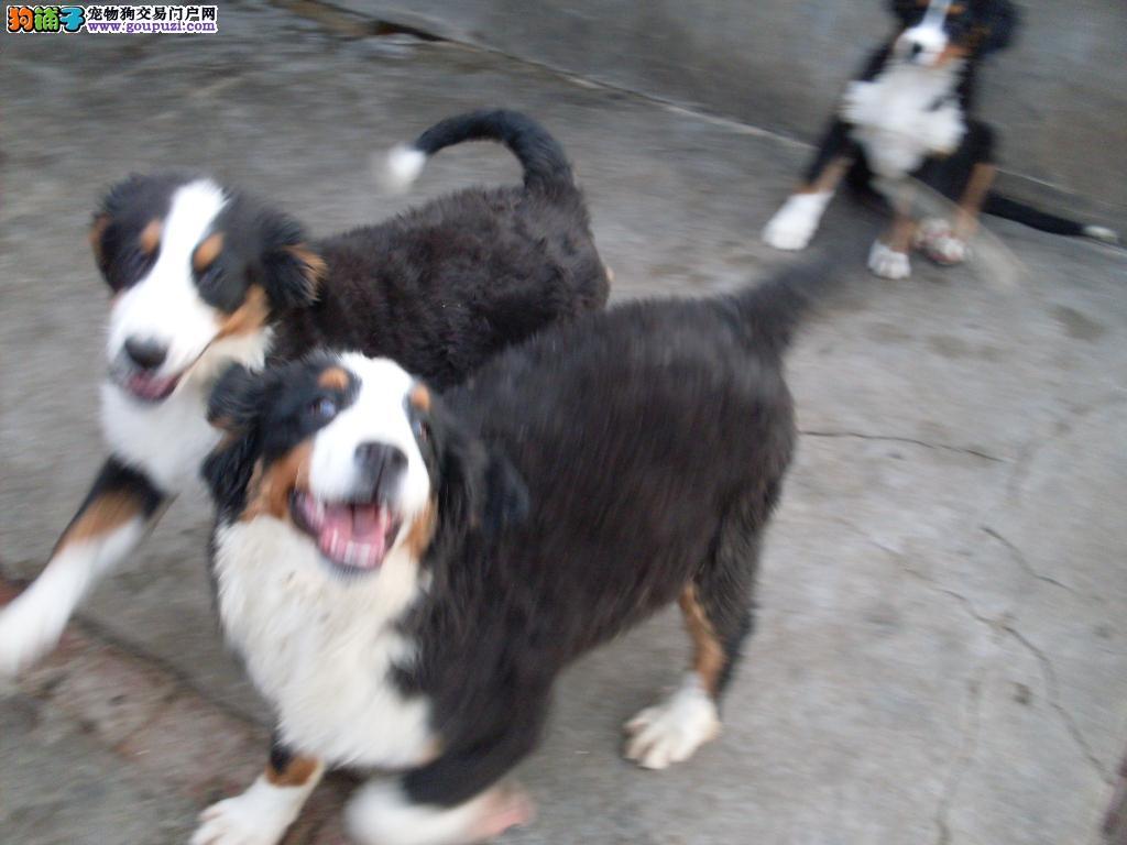 合肥瑞士伯恩山 纯种健康的伯恩山幼犬 疫苗证书齐全