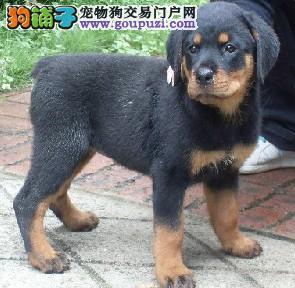 郑州纯种德系罗威纳犬改良幼犬多只出售选择多可视频