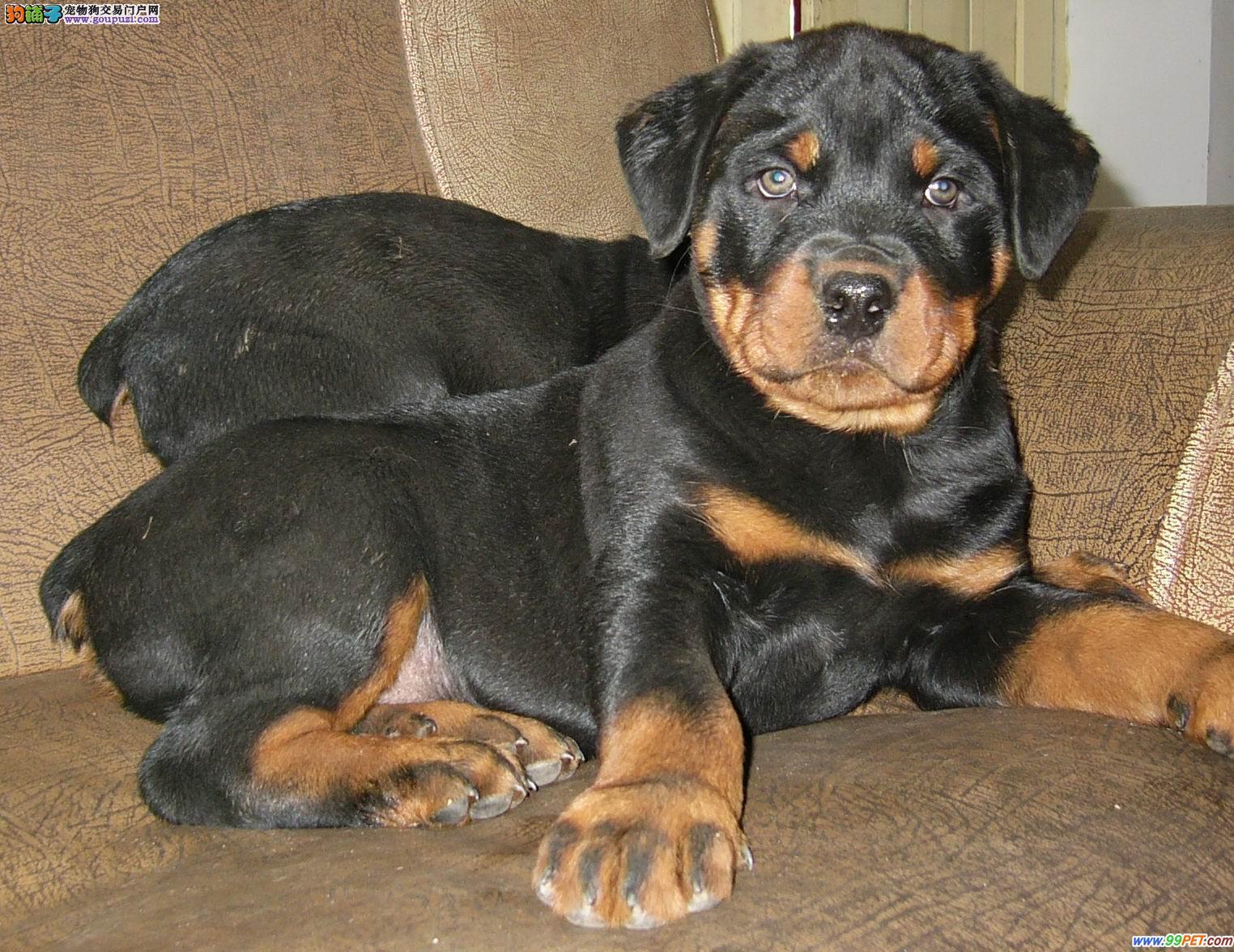杭州最大狗场出售赛级大骨架罗威纳幼犬 包健康纯种