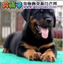 纯种罗威纳幼犬 保证纯种 品相好 骨量足
