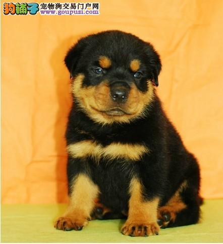 头大嘴宽罗威纳出售 广州哪里有狗场卖纯种罗威纳犬