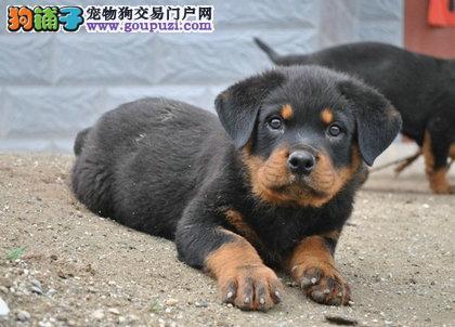 出售纯种罗威那幼犬宝宝.低价销售纯种出售;