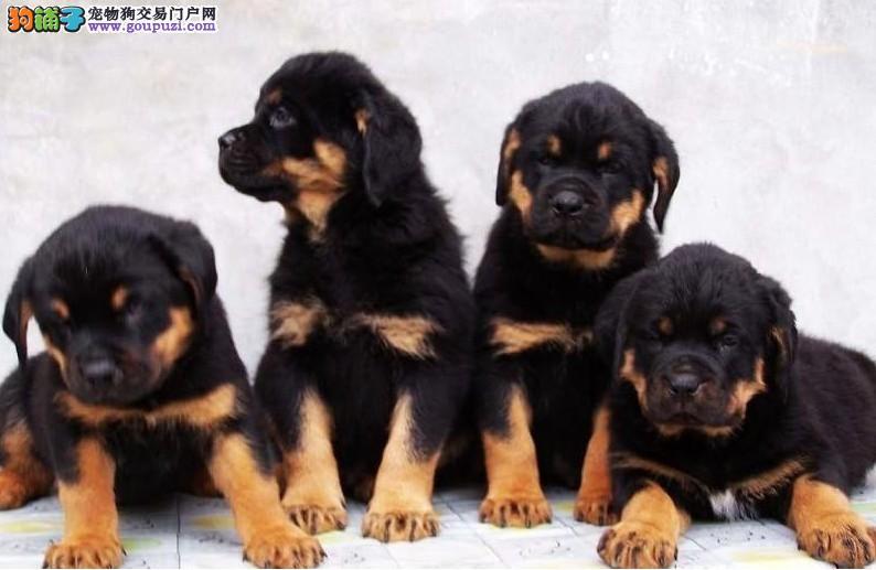 贵阳正规狗场犬舍直销罗威纳幼犬签订协议包细小犬瘟热