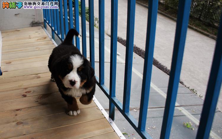 长春基地繁殖直销伯恩山犬幼犬可视频挑选可上门看父母
