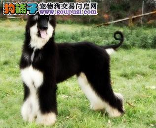 南京正规犬舍高品质阿富汗猎犬带证书全国当天发货
