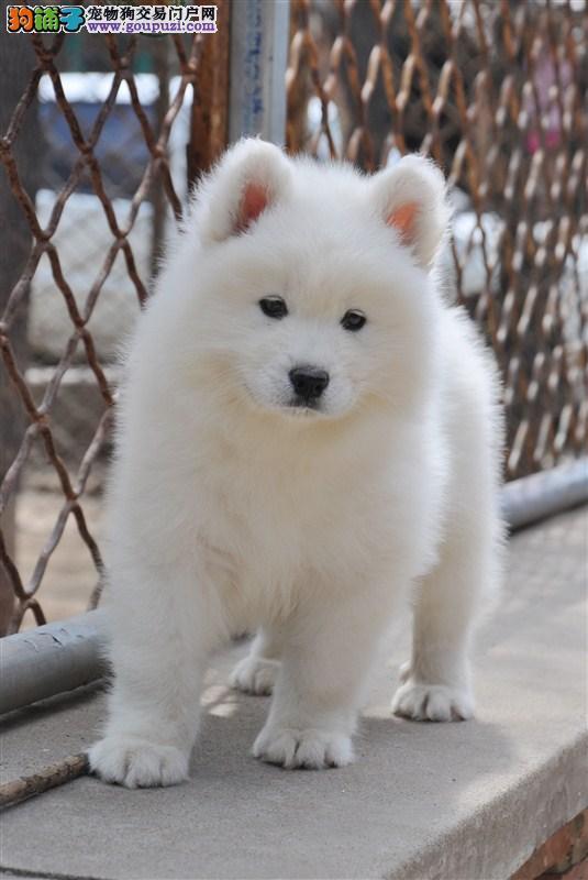 品质信誉健康保证宁波繁育纯萨摩耶幼犬健康质保