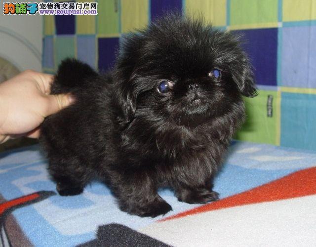 成都哪里有卖京巴犬的 京巴犬多少钱一只