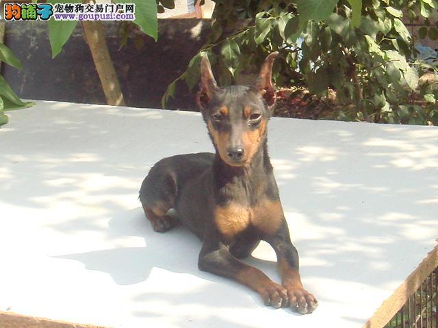 铜川出售纯种杜宾犬 保证健康 纯种 签订正式协议