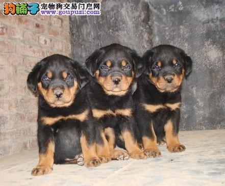 出售罗威纳幼犬 可办血统证+芯片 欢迎来场挑选