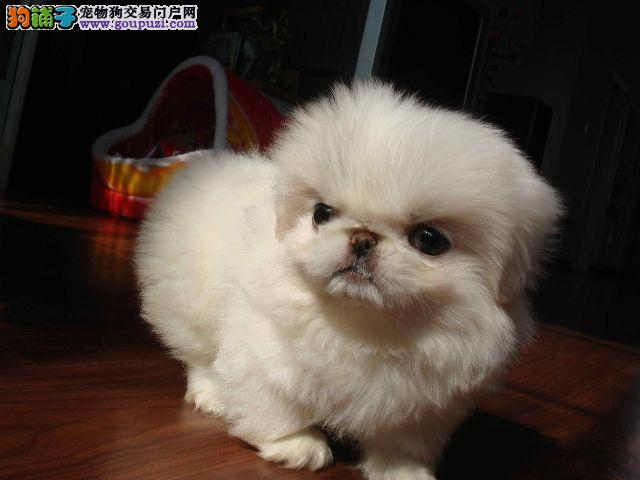 可爱憨厚的京巴狗纯种京巴 昆明疯狂出售