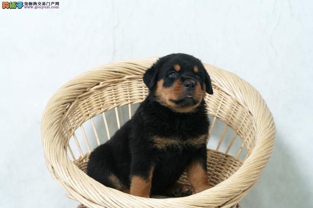 精品罗威纳幼犬喜欢精品的把握时机