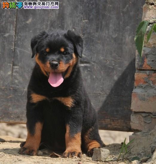 皇家AKI 血系 大头高品质罗威纳幼犬待售中,欢迎选购