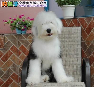北京名犬家园出售带国际认证血统的古牧宝宝