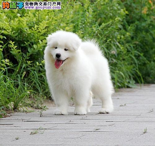 白魔法血系的极品笑脸萨摩幼犬宝宝待售中....