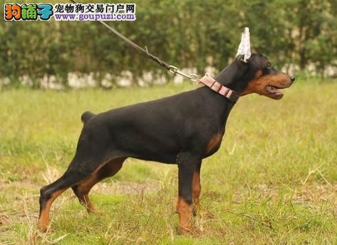 出售杜宾犬血统纯正是我自己家的狗