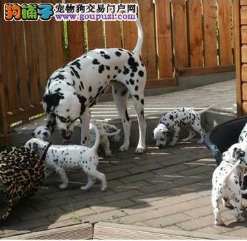 陕西西安出售纯种斑点狗国内少有的纯种 欢迎咨询
