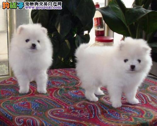 上海繁殖出售纯种精品银狐犬宝宝 狐狸犬热卖中保质量
