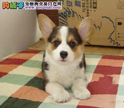 纯种柯基幼犬低价出售 !