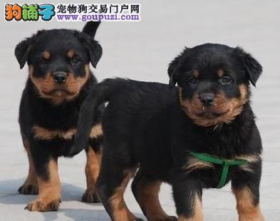 出售血统纯正罗威纳幼犬